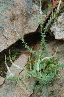 Samacalo (Anarrhinum duriminium) ECOSATIVA, Lda.