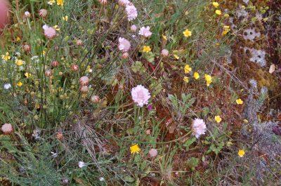 Arméria (Armeria eriophylla) ECOSATIVA, Lda.