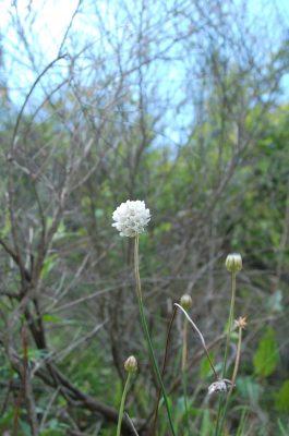 Arméria (Armeria eriophylla)