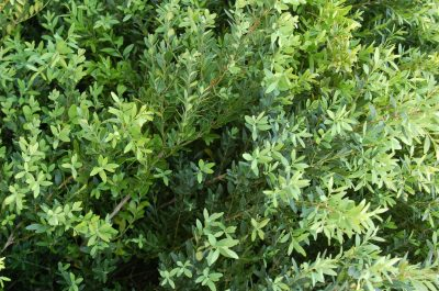 Buxo (Buxus sempervirens) ECOSATIVA, Lda.