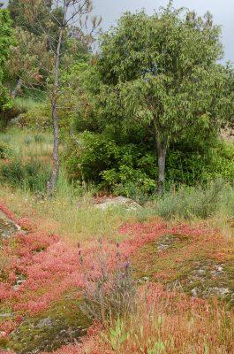 Zimbro (Juniperus oxycedrus) ECOSATIVA, Lda.