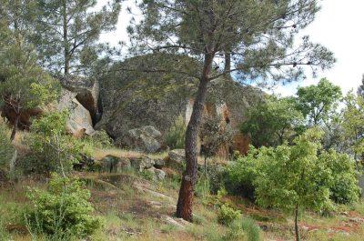 Pinheiro-bravo (Pinus pinaster) ECOSATIVA, Lda.