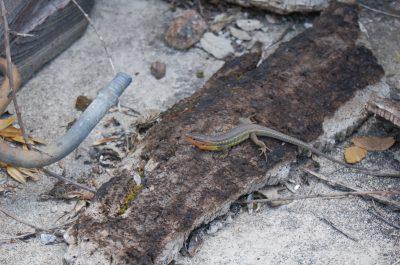 Lagartixa-do-mato (Psammodromus algirus) ECOSATIVA, Lda.