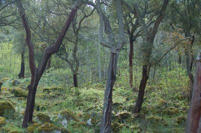 Sobreiro (Quercus suber) ECOSATIVA, Lda.